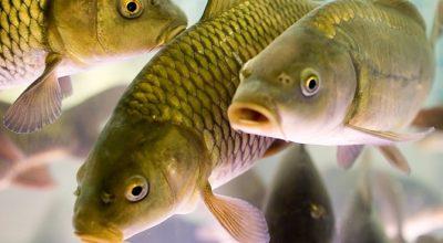 Четвертая мафия мира: почему в великой морской державе безумные цены на рыбу