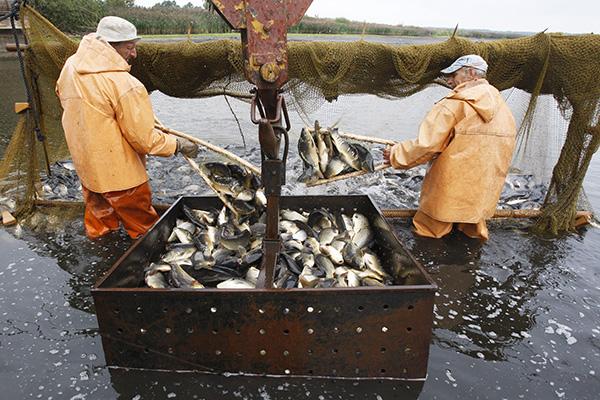 Отлов рыбы в рыбном хозяйстве «Волма» в Белоруссии