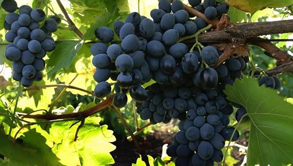 Вино с высоты 2016. Российское виноделие пошло по новосветскому пути развития