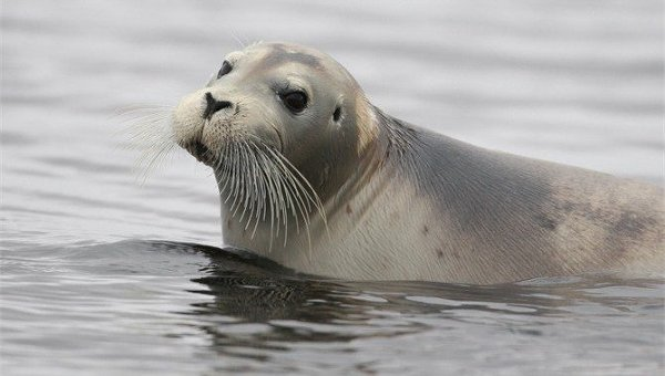 Кольчатые нерпы и морские зайцы-убийцы: какие животные пополнят подводный спецназ РФ