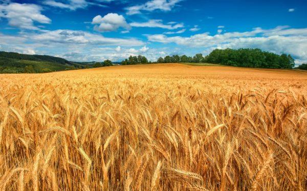 Россия начнет поставки пшеницы в Венесуэлу