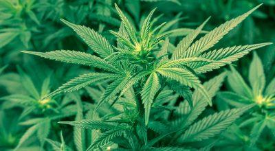 Главная ошибка, которую делают марихуановые инвесторы