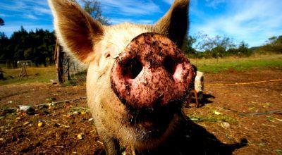 Глобальное свинство: ВТО показала свое