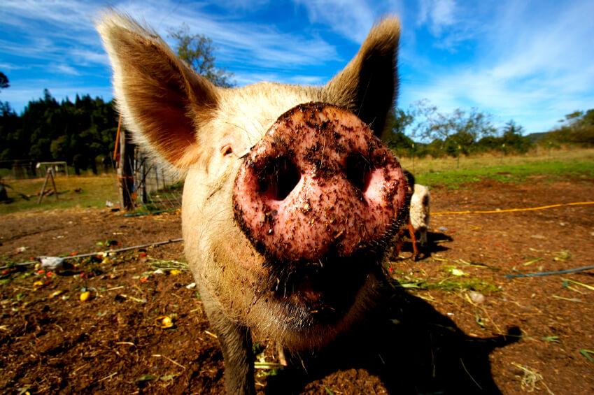 """Глобальное свинство: ВТО показала свое """"рыло"""""""
